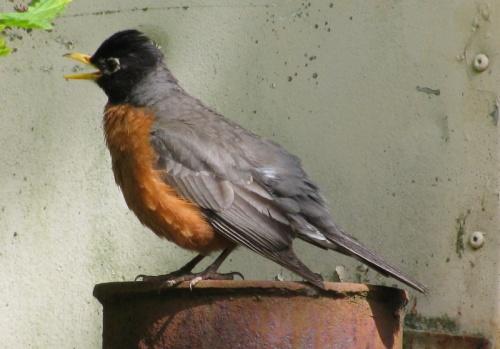 the robin tells a tale