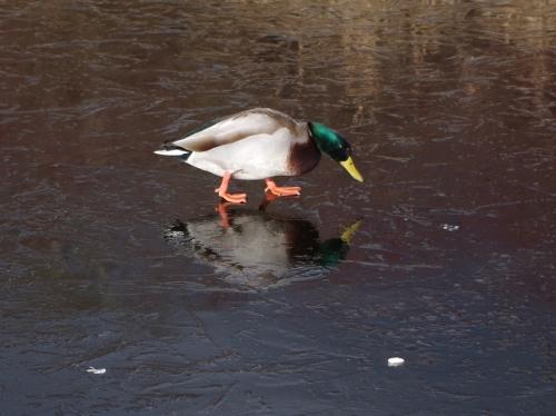 Perplexed Duck