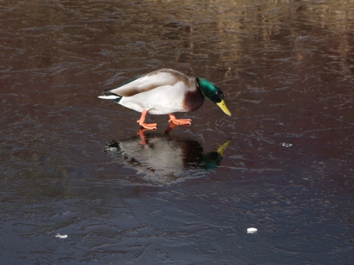 Merry Christmas to all and to all a good duck