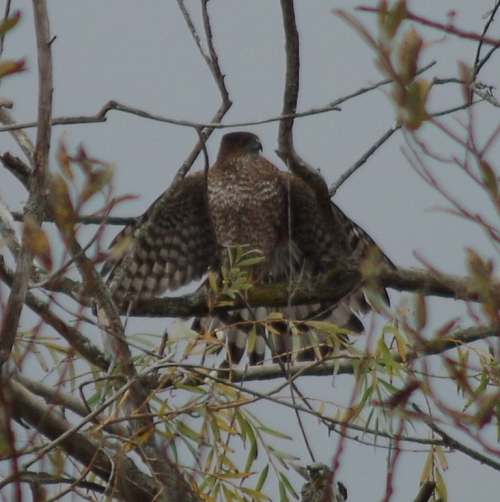 Cooper's Hawk #2