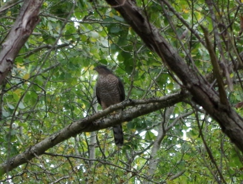 Cooper's Hawk at lunch