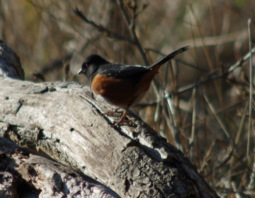 Tommy Towhee
