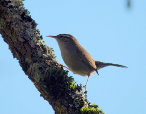 some sort of Wren