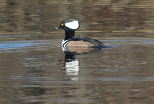 Murray the Hooded Merganser