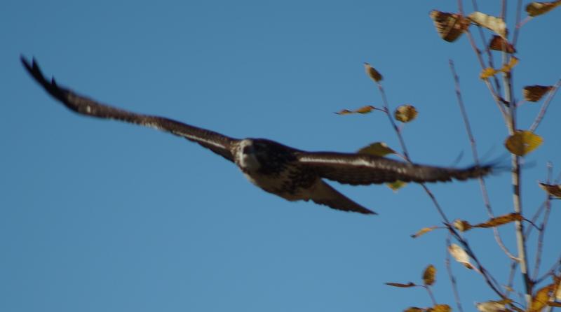 gliding - wings wide open