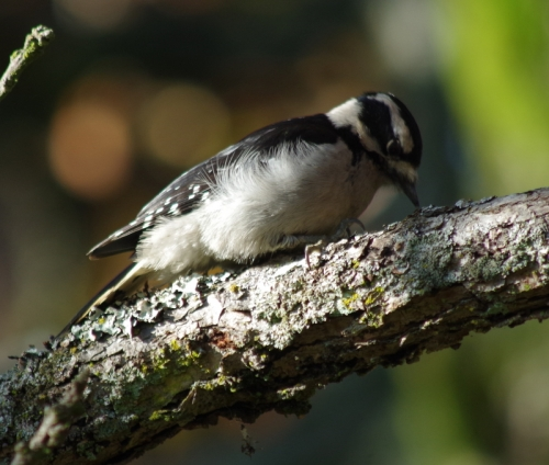 Hairy Woodpecker pecking