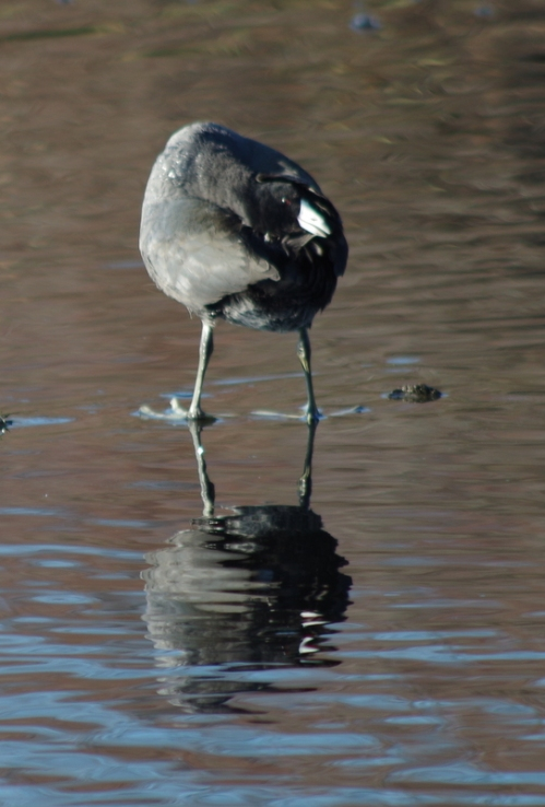 Coot doing yoga