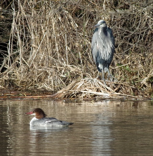 heron and merganser