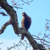 eagle - immature