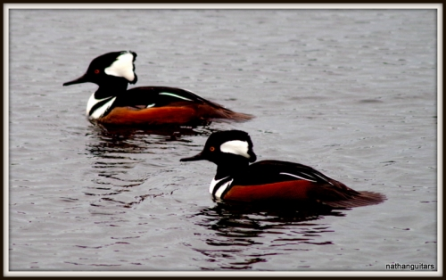 only in winter do we get Hooded Mergansers